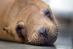 Toxic Algae Are Leaving Sea Lions Unable to Find Food—or Their Homes Scientists find that huge algal blooms off the U.S. West Coast produce neurotoxins that leave marine mammals dangerously disoriented.
