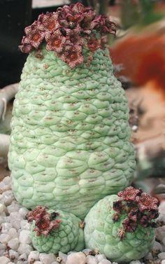 cactiformis larryleachia