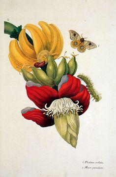 "leprocrastinateur: "" Maria Sibylla Merian (1674-1717). Flowers Sun. """