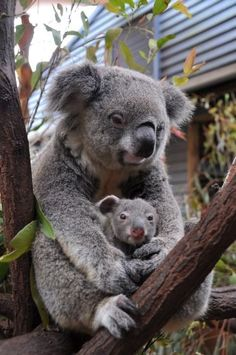 A smiling koala holding on to her baby.