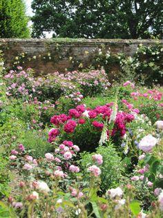 roses in walled garden