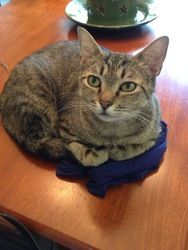 Lovey is an adoptable Tiger Cat in Muncie, IN. Lovey is a very outgoing girl that loves treats and attention. She made herself right at home the first day at the Catty Shack acting like she had alway...