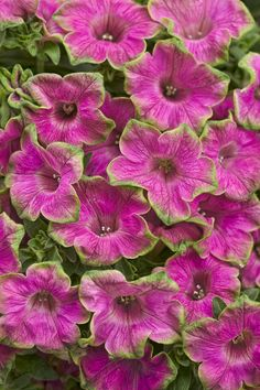 If you loved Supertunia® Pretty Much Picasso® then Picasso in Pink™ is right up your alley. This variety has that gorgeous, picotee lime-green edge that made Pretty Much Picasso® famous, but with bright pink flowers. The habit and vigor is fantastic as well. Beautiful on its own or when combined with a dark grass or potato vine. http://emfl.us/dSEd