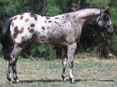 Bay Leopard Appaloosa stallion with Laced Spots All The Pretty Horses, Beautiful Horses, Animals Beautiful, Horse Markings, Appaloosa Horses, Leopard Appaloosa, Horse Gear, Horse Tips, American Saddlebred