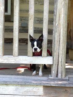 Xena, a Boston terrier, roughing it!