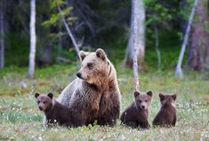 A grizzly bear family grazing by train tracks near Glacier National Park in Montana all died when they were struck by trains in two incidents just hours apart earlier this month, according to officials. Les Benjamins, Danse Country, Montana National Parks, Canadian Wildlife, Bear Images, Lightning Strikes, Natural Disasters, Royalty Free Images, Cubs