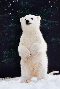 DUANGDARA SRIPINYO (DUANG) - Google+ Polar bear cub standing on hind legs (Digital Composite) by Ken Graham on Getty Images.