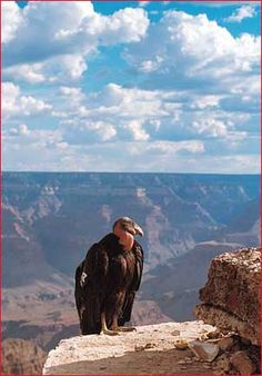 Looking for condors, Grand Canyon
