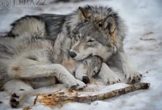 Wolves mate for life Beautiful Wolves, Animals Beautiful, Cute Animals, Wild Animals, Baby Animals, Wolf Photos, Wolf Pictures, Wolf Mates, Wolf Hybrid