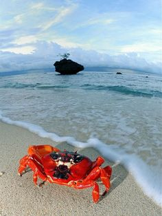 A red crab sits on the beach on Christmas Island during the annual migration in November 2013.