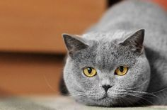 Diabetes in Cats, Part 1: Symptoms & Diagnosis