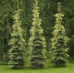 59 Best Evergreens For Tight Spaces Images Trees Shrubs 640 x 480