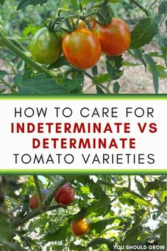 Determinate And Indeterminate Tomatoes. Growing tomatoes is not hard, but there are a few tips that can get you better results. Learn how to care for determinate vs indeterminate tomato plants for the better fruit production. Growing Tomatoes In Containers, Growing Vegetables, Grow Tomatoes, Growing Plants, Vegetables Garden, Gardening For Beginners, Gardening Tips, Texas Gardening, Container Gardening