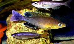 "Cyprochromis leptosoma color variation - ~4"" Tanganyikan cichlid, each color variation has a yellow tail type and a blue tail type; sometimes this is confusing!"