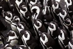 African penguins gather to keep warm as others are fed sardines by staff at the South African Foundation for the Conservation of Coastal Birds after they were recently found covered in oil on Robben Island, Cape Town, South Africa. (AP)