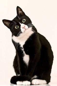 Tuxedo Cat aw you are sooooo cute i love youuuu