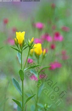Keltapellava - keltapellava Linum flavum keltainen kukka kasvi perenna koristekasvi puutarhakasvi kivikkokasvi