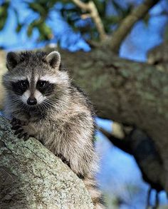 Young Raccoon, Just Hanging Out