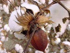Cotton Boll - Gunnison, MS