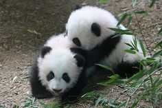 Cub Tussle   Mei Lun and Mei Huan - 11/27/13   smileybears   Flickr