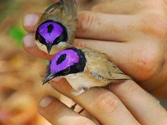 Purple Crowned Fairy Wren