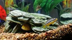 My new African Cichlid aquarium in our bedroom in Copake Lake House.