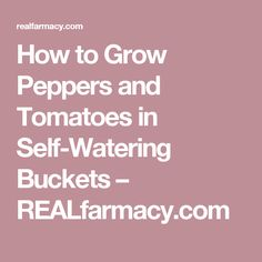 How to Grow Peppers and Tomatoes in Self-Watering Buckets – REALfarmacy.com