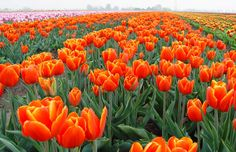 In springtime, the lowland area by the North Sea is carpeted with fields of gladioli, hyacinths, lilies, daffodils, crocuses... and, of course, tulips