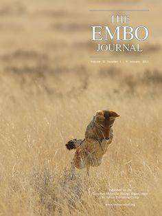 A jackal hunting mice at Etosha National Park, Namibia.  (Credit: Hanna Kraus, the EMBO Journal) Nature Publishing Group