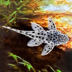 awesome Snow Leopard Plecostomus L-264 by http://www.dezdemon-exoticfish.space/freshwater-fish/snow-leopard-plecostomus-l-264/