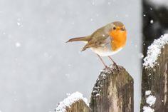 Robin, Nature Photography, Birds, Community, Snow, Twitter, Robins, Bird, Wildlife Photography