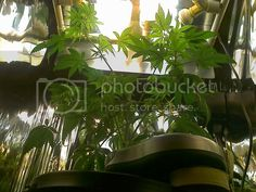 Click this image to show the full-size version. Grow Lights For Plants, Aquaponics, Plant Leaves, Bulb, Planting, Cannabis, Image, Diy, Design