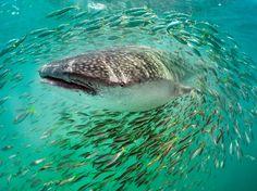 Whale Shark, Yucatán Peninsula