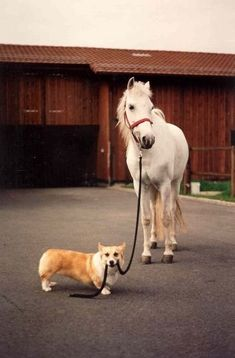 Corgi walking the horse ...