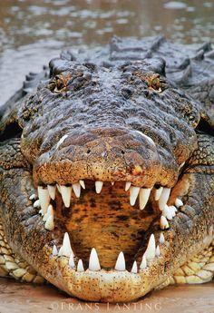 Nile crocodile, crocodylus niloticus, Okavango Delta, Botswana - photo Frans Lanting - In the Beginning, maybe God wasn't as into beauty yet...