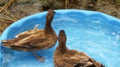 Dexter and Deema, our #petducks #ducks #domesticducks #ducksforpets #duckpools #ducksinwater