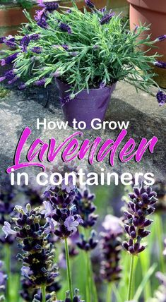 How to grow Lavender, Growing Lavender in pots, Re-pot your lavender plant, Lavender plant care, Problem with Lavender. know its growing position. Lavender Potted Plant, Lavender Plant Care, Lavender Flowers, Planting Lavender Outdoors, Lavander, Caring For Lavender Plants, Uses For Lavender Plant, Purple Roses, Planting Lavender Seeds