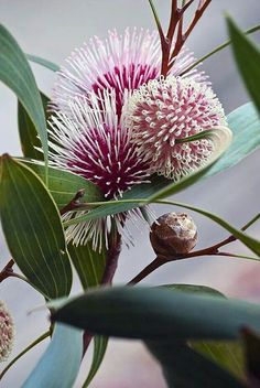Floral inspo Hakea laurina (Pin-cushion Hakea) is one of the most admired native plants of south-western Australia, and is grown in quantity in Australia and other countries. Unusual Flowers, Unusual Plants, Exotic Plants, Amazing Flowers, Beautiful Flowers, Strange Flowers, Beautiful Beautiful, Australian Native Garden, Australian Native Flowers