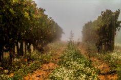 vineyard in the fog