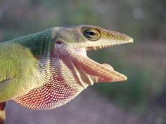 """Sometimes anoles are incorrectly called """"chameleons"""" because they change colors, but unlike a true chameleon that can match its background, Carolina Anoles (Anolis carolinensis) come only in two primary shades. One minute an anole will be bright green, and the next it has taken on a drab gray-brown appearance."""