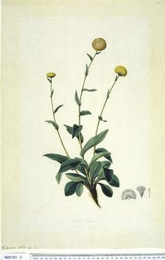 Craspedia Uniflora - - New Zealand - [G. Forster] R. Brown ex Sims, Curtis's bot. Mag. 49: t. 2350 [1822]. The Endeavour botanical illustrations -