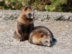 たぬき a couple of racoon dog (tanuki)