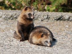 たぬき a couple of racoon dog (tanuki) ((So not really a dog but <3 ))