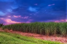 Sugar Cane Field-loved chewing on sugar cane as a kid-must have some shipped to Montana! Louisiana Homes, New Orleans Louisiana, Louisiana History, Moving To California, Mauritius, Back Home, Rum, Places To See, Fields