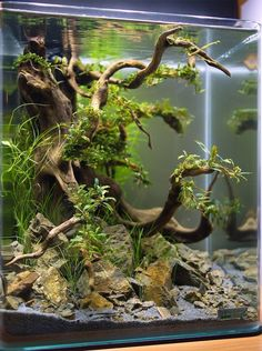 Check out this gorgeous driftwood aquarium design! Driftwood is a great addition to any freshwater aquarium. Get driftwood for your aquarium at www.driftwoodwarehouse.com