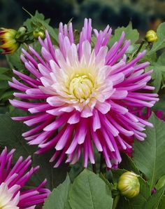 ~~Cactus Dahlia 'Good Earth' | valued for their large spiky florets,they are very easy to grow and provide a rewarding display with very little effort | Fiesta Flower Bulbs~~