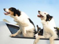 Here's Proof that No Animals Are Happier than Dogs in Cars  Read more: http://www.rd.com/slideshows/happy-dog-car/#ixzz3JR6fXXXV