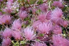 This is really beautiful.  I am going to ask about it when I go to the nursery.  Apache Plume...