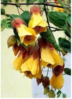 52 Best Abutilon Yellowlemon Images In 2017 Lemon Maple Tree