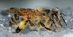 Hmyz, Hymenoptera, Api, Mellifera